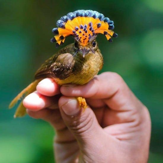 amazonian-royal-flycatcher