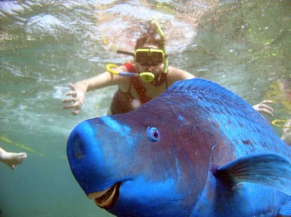 blue-parrotfish