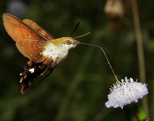 hummingbird-hawk-moth