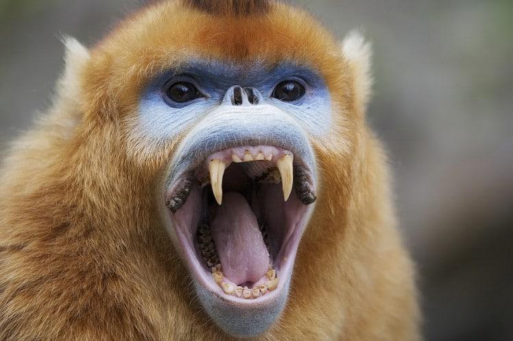 snub-nosed-monkey
