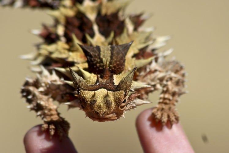 thorny-dragon