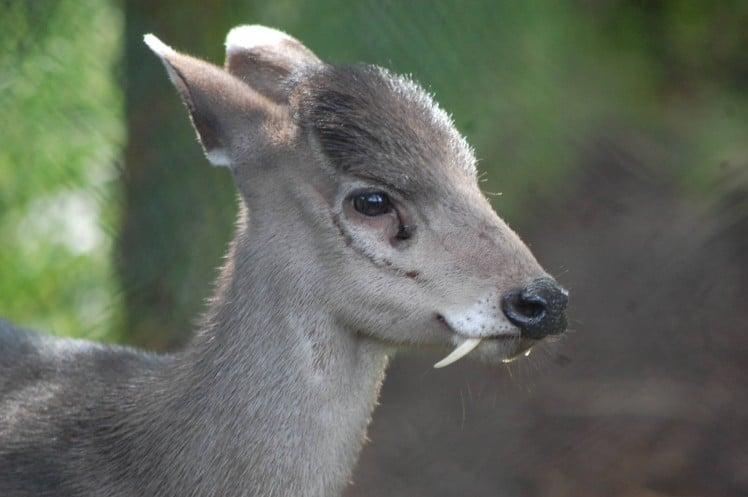 tufted-deer