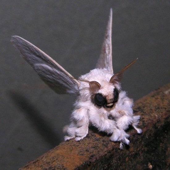 venezuelan-poodle-moth
